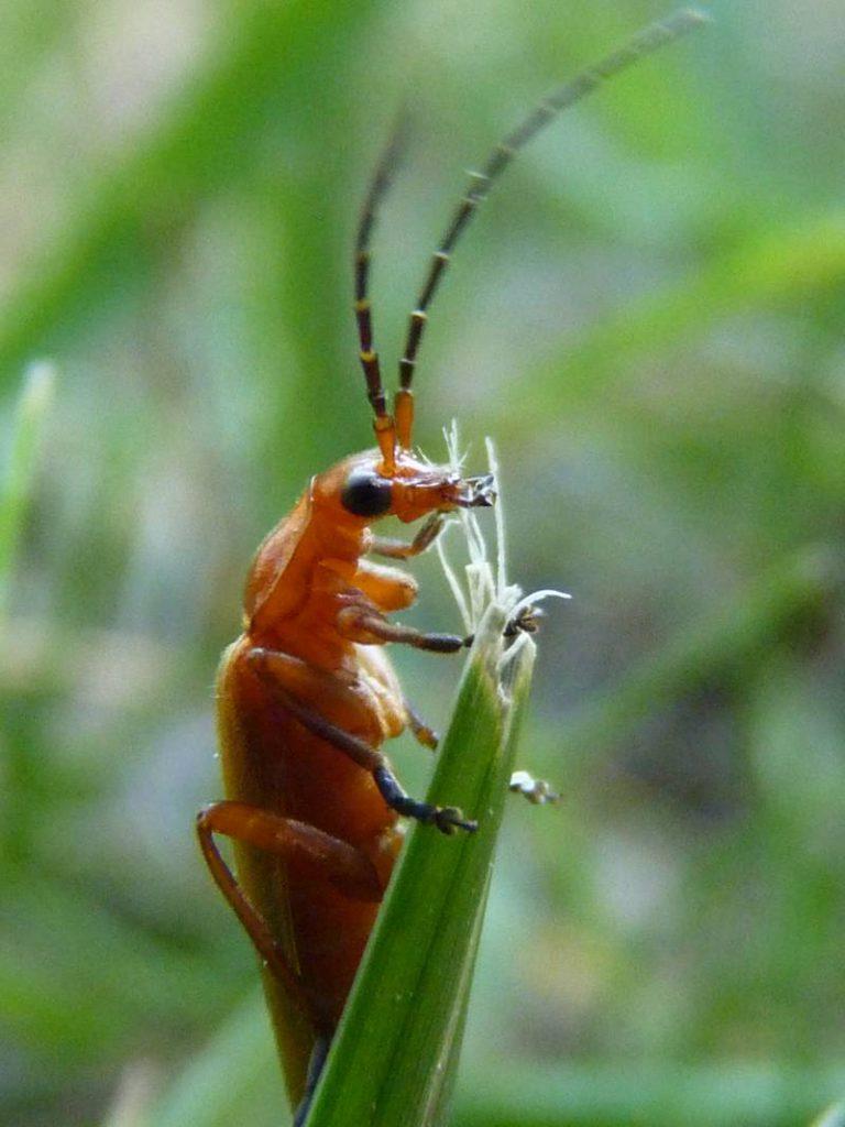 Escarabat soldat vermell al capdamunt d'un bri d'herba