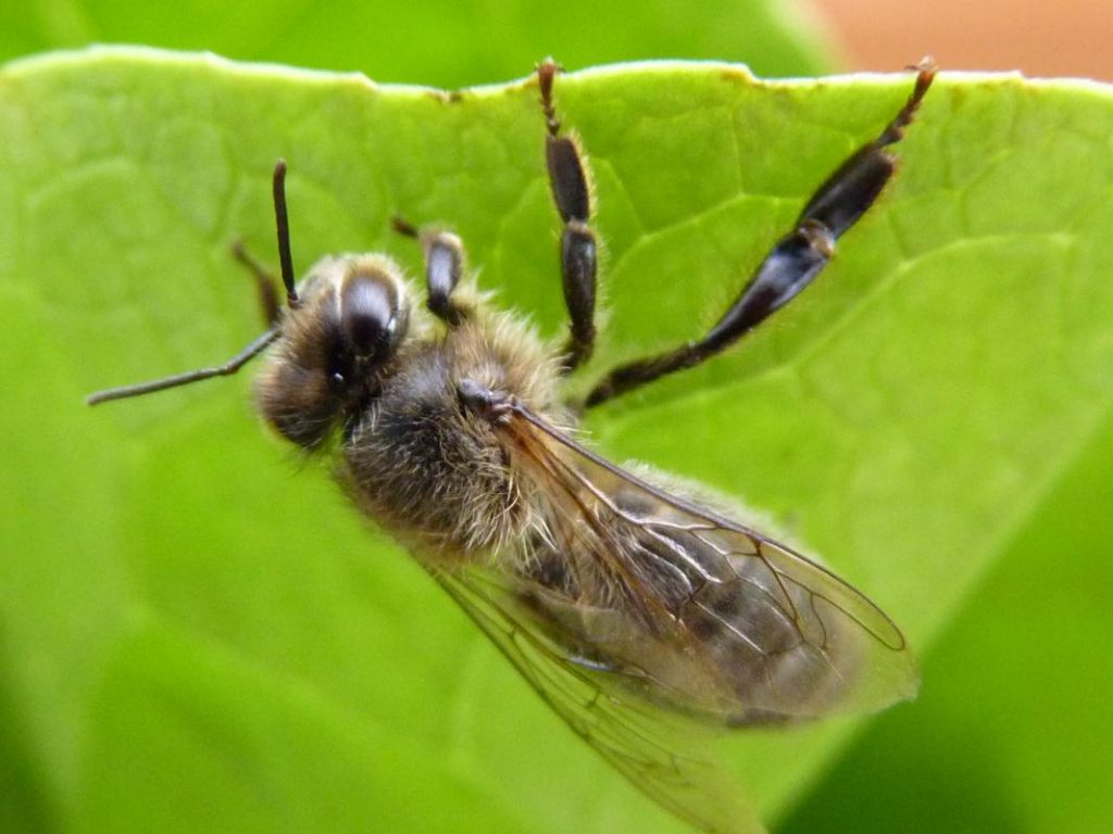 Andrena penjada d'una fulla