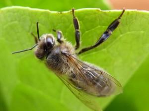 Andrena-penjada-duna-fulla-1