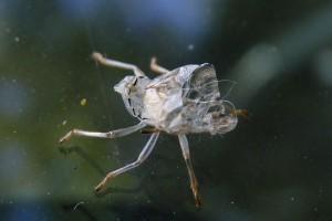Muda-metamorfosi-insecte-desconegut-1